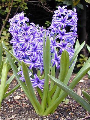 hiacynt-hyacinthus_3201